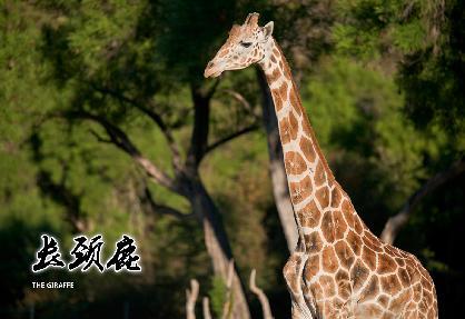 动物写生-长颈鹿
